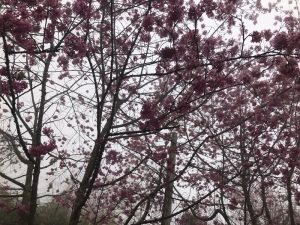 阿里山の桜